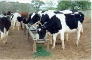 Raça Holandesa, uma das melhores produtoras de leite