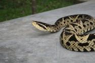 As serpentes surgiram por volta de 110 a 150 milhões de anos atrás, descendendo provavelmente de lagartos de hábitos subterrâneos