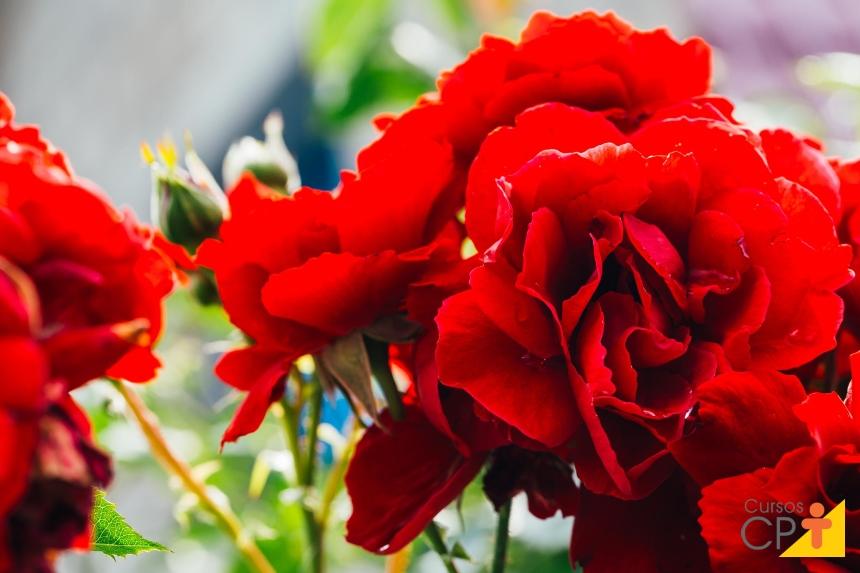 Setembro é a época de plantar rosas   Cursos CPT