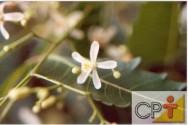 Cultivo e uso do nim: benefícios