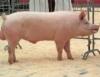 Criação de suínos light, mais carne, menos gordura e mais saúde na mesa do consumidor