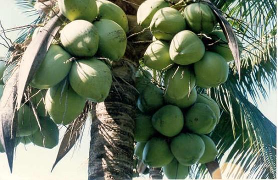 Como prevenir e combater algumas pragas do coqueiro - Cortar hierba alta ...