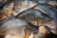 Entre para o promissor setor da piscicultura