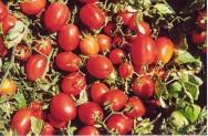 Embrapa desenvolve o primeiro híbrido de tomate industrial