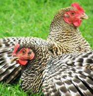 Para se trabalhar com galinha caipira, pode-se optar por dois tipos básicos de produção, a de carne e a de ovos.