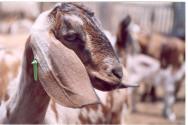 Agricultores do Maranhão lucram com criação de caprinos