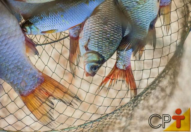 Criação de peixes - nutrição e alimentação de peixes   Artigos Cursos CPT
