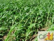 Produção de milho em pequenas propriedades: uso de herbicidas
