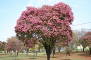 Sapucaia ajuda o cultivo de cacau na Bahia