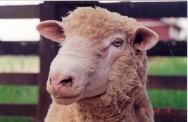 Criação de ovinos, uma atividade de sucesso
