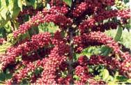 Embrapa testa gene do café em outras culturas comerciais