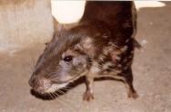 A paca é um dos animais silvestres mais fáceis de criar em cativeiro