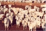 Embrapa Gado de Corte (CNPGC), referência mundial na pecuária de corte tropical