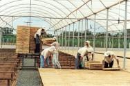 Cultivo de Tomate em Estufa: exigências climáticas