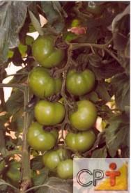 Cultivo de Tomate em Estufa: temperatura