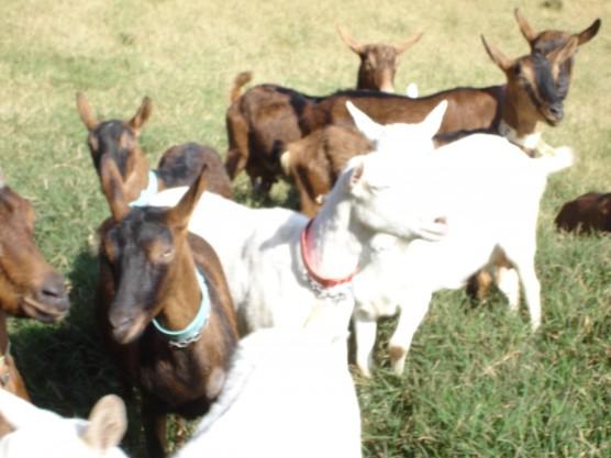 Ovinos e Cabras relação de cursos