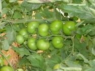 Cultivo de Tomate em Estufa: adubação orgânica