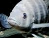 Proteínas exigidas na alimentação de peixes
