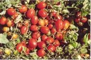Nova variedade genética de tomate promete fazer sucesso no mercado