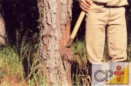 Cultivo e resinagem de pinus: origem da resina