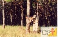Cultivo e resinagem de pinus: a resinagem
