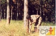 A resinagem provoca redução no crescimento das árvores