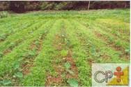 A planta do taro não produz sementes