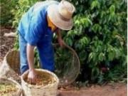 Ao utilizar técnicas adequadas de cultivo fica mais fácil produzir café em grande quantidade e de melhor qualidade.