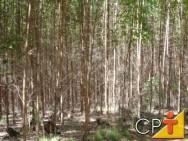 Cultivo de eucalipto em pequenas propriedades: operações intermediárias
