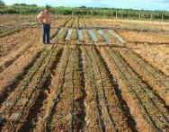 Cebola irrigada por gotejamento tem alta produtividade no sertão nordestino