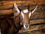 Aprenda Fácil Editora: Criação de cabras leiteiras melhora qualidade de vida das famílias carentes na Paraíba