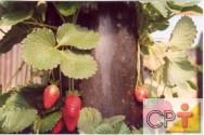Produção de morango orgânico: mercado