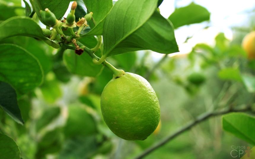 Limão Taiti,  poderoso na medicina e um dos frutos de maior importância comercial   CPT