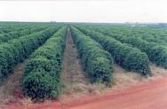 Tecnologias desenvolvem a cafeicultura no cerrado