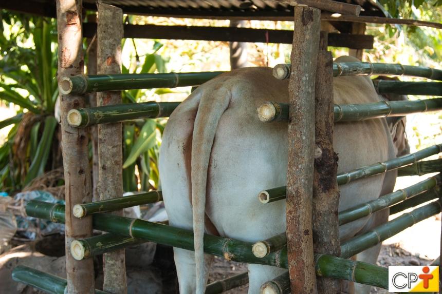Inseminação artificial em bovinos: fatores que levam a ótimos resultados   Artigos CPT