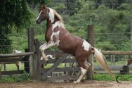 Cavalo mangalarga, animal forte e refinado