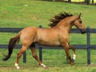 Campolina, cavalo de andamento marchado e de porte altivo