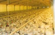Destaque-se no setor de avicultura