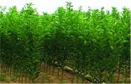 Estaquia, um processo eficiente de propagação de plantas frutíferas
