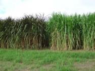 Embrapa estuda matérias-primas para a produção de etanol celulósico