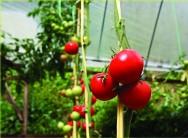 A construção de estufas facilita muito o cultivo de vários tipos de hortaliças