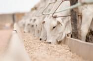 Aprenda Fácil Editora: Integração lavoura-pecuária incrementa confinamento de gado em MT.