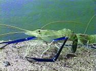 tecnologia na criação de camarão de água doce gera índices de