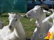 Produção de queijos de leite de cabra: origem da cabra