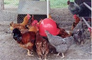 Criação de frango e galinha caipira