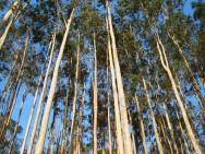 Aprenda Fácil Editora: Estudo da FAO Constata que Eucalipto não é Vilão Ambiental.
