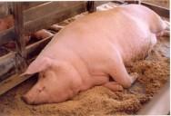 Suínos: vantagens do sistema de camas sobrepostas
