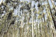 Aprenda Fácil Editora: Eucalipto é Fonte de Energia Renovável para Petroquímica da Dow no Brasil.