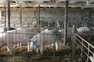 Aprenda Fácil Editora: Com Embargo da Carne Suína pela Rússia, a Ásia é a Aposta dos Suinocultores.