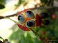 Novas cultivares de guaraná dão frutos no Amazonas